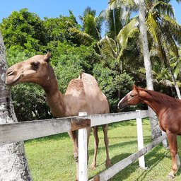 La vie d'un cheval sous les tropiques. 🐪🌴 #horse #horselife #equestrianlife #equestrianlifestyle #pony #dressagehorse #jumpinghorse #horseofinstagram #picoftheday #pferd #sellefrancais #dressage #dressagecompetition #paris